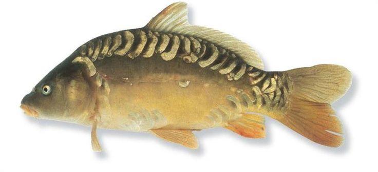 Spiegelkarper gevangen in een van de drie visvijvers van camping Château le Verdoyer bij Champs Romain in de Dordogne te Frankrijk in mei 2016. Drijvend vissen met een float controller van Fox met als aas een korstje brood.
