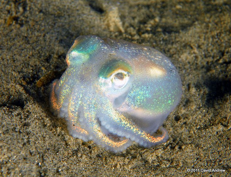 Opalpus ~ I'm not sure what kind of octopus this is, but I like it :D