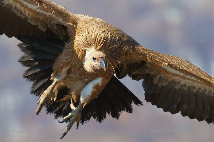 Griffon Vulture (Gyps fulvus)  koenfrantzen.com