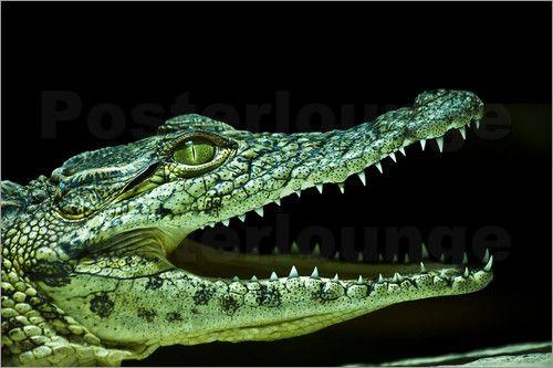 "Poster / Leinwandbild ""Krokodil"""