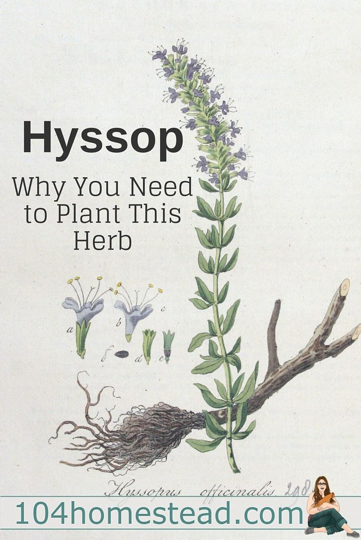 Chia pet herb garden - Hyssop Why You Need To Make Some Space For This Herb