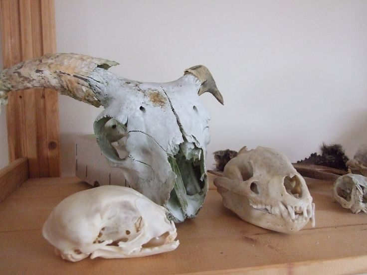 skulls! cat, ram and fox