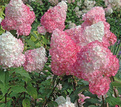 Voted top plant of 2010 by the American Nursery and Landscape Association, Hydrangea paniculata Vanilla Strawberry™ is a relative of the classic PeeGee Hydrangea.
