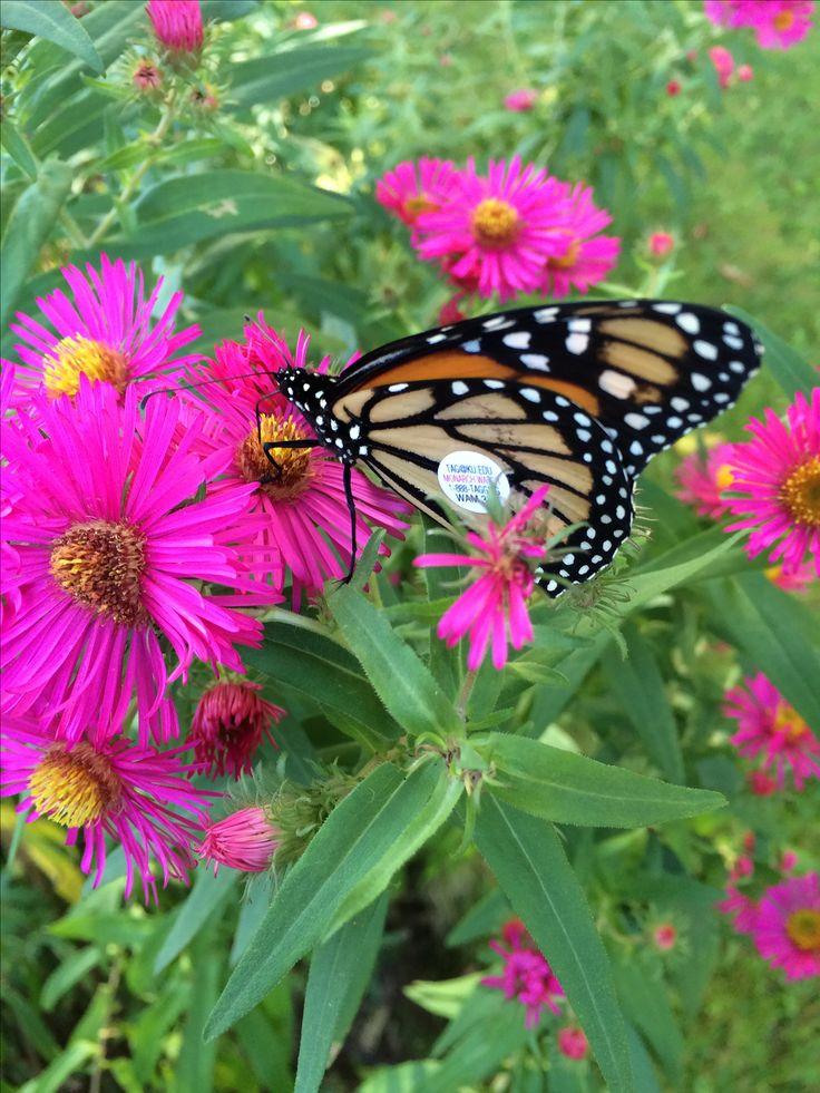 Un papillon Monarch taggé, retrouvé sur mes asters