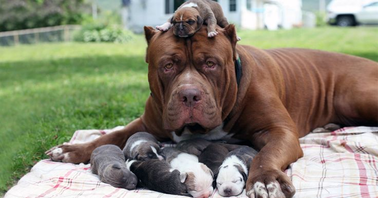 Worlds Largest Pitbull Hulk Has 8 Puppies Worth Up To Half A Million Dollars