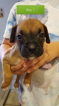 Litter of 8 Boxer puppies for sale in COTTONWOOD, AZ. ADN-39594 on PuppyFinder.com Gender: Male. Age: 5 Weeks Old
