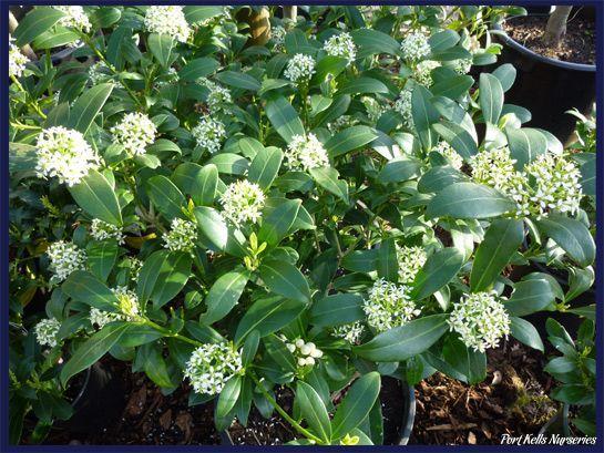 skimmia japonica kew white arbuste persistant petites fleurs tr s parfum es favorite. Black Bedroom Furniture Sets. Home Design Ideas