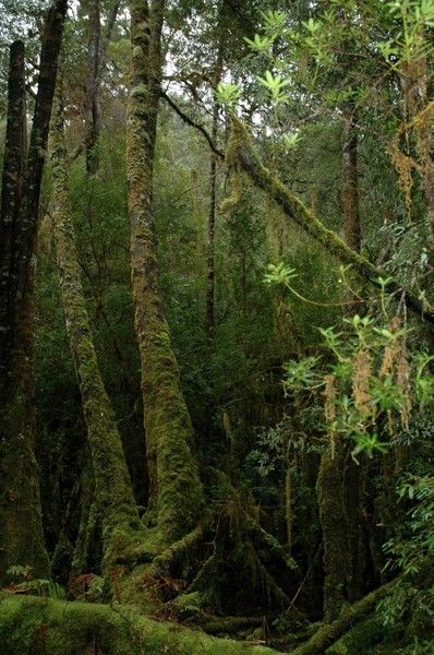 Ancient Huon Pine forests on the banks of the Gordon River in South Western Tasmania. (Photo: AAP)