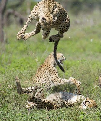Fieggentrio: Vechtend jachtluipaard veert minimaal één meter de...