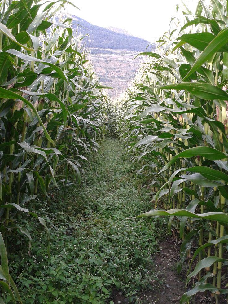 Things to do in Southtyrol: Durch ein Maisfeld laufen (und sich nicht erwischen lassen)
