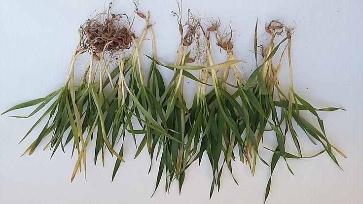 Zwalczanie chwastów i uprawy jęczmienia ozimego - więcej na http://innvigo.com/jeczmien-ozimy-trudna-sytuacja/