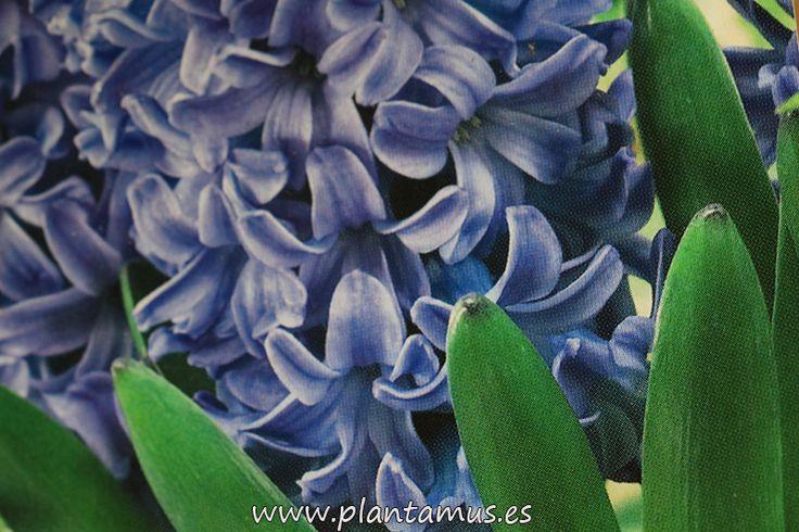 Bulbos de Jacinto azul