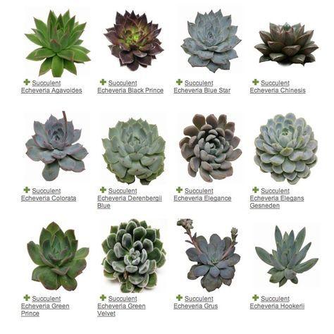 Plantas carnosas de jardín