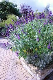 Sage (Salvia) Amistad