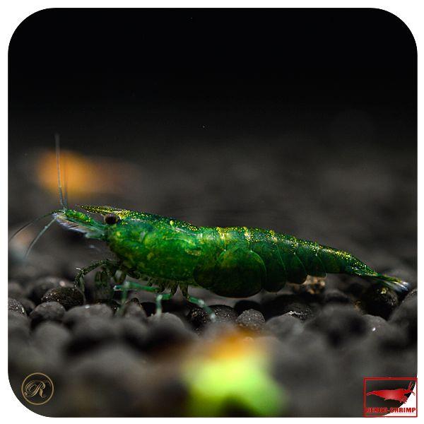 jade green | 10x Green Jade Garnele (nur 8,99€ je Tier)