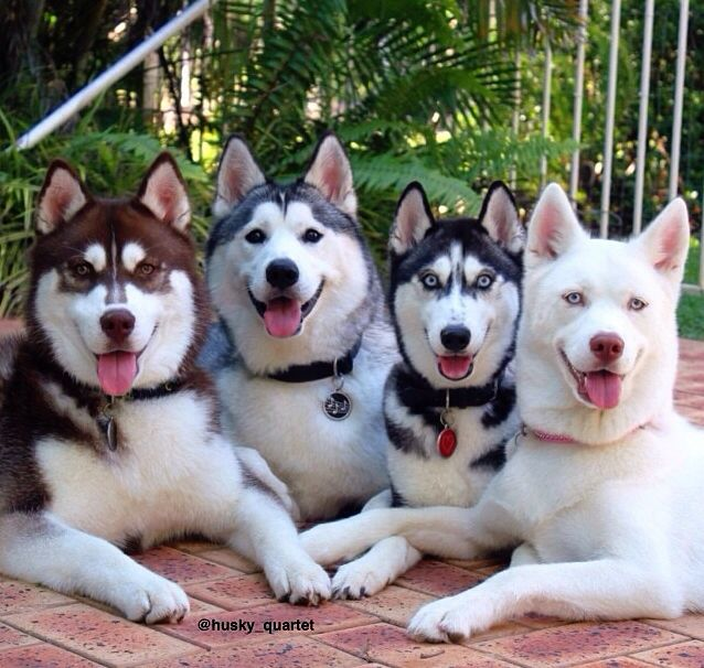 It's a Siberian Husky family reunion! Almost one in every color too!! :)