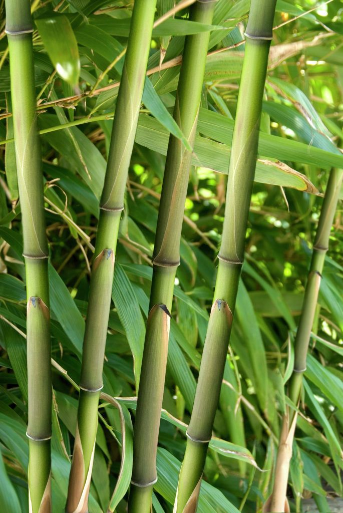 Images about bamboos on pinterest walking sticks