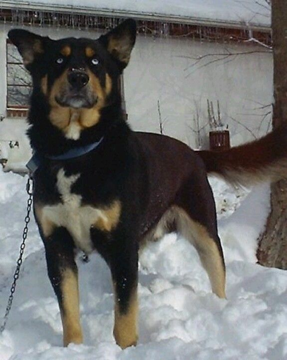Husky and rottweiler mix :D soon pretty