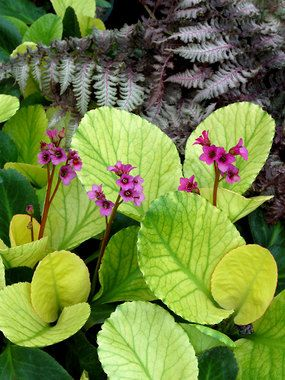 """Bergenia Lunar Glow  ---- Creamy yellow leaves emerge in spring & turn chartreuse with green veining, then deep green. In fall they turn red & last the winter. Hot pink spring blooms. Good for difficult dry shade spots & takes the heat of the South. 10-12"""" tall by 14-18"""" wide, spreads slowly."""