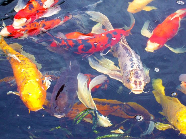 1000 images about koi on pinterest japanese koi terry for Koi fish hatchery