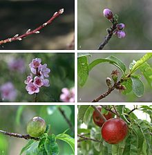 Prunus - Wikipedia, the free encyclopedia