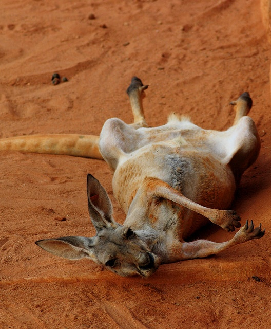 Love this red kangaroo shot, hanging out in the red Aussie dirt. Makes me