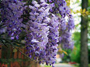 Цветок глициния – посадка и уход; фото глицинии, выращивание глицинии из семян; как вырастить дерево глициния