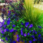 Colors that compliment.Containergarden, Gardens Ideas, Container Gardens, Gardens Can, Decks, Petunia, Flower Pots, Container Plants, Yards