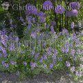 Echter Salbei, Gartensalbei Salvia officinalis Prächtige Kombination mit Zierlauch (Allium......