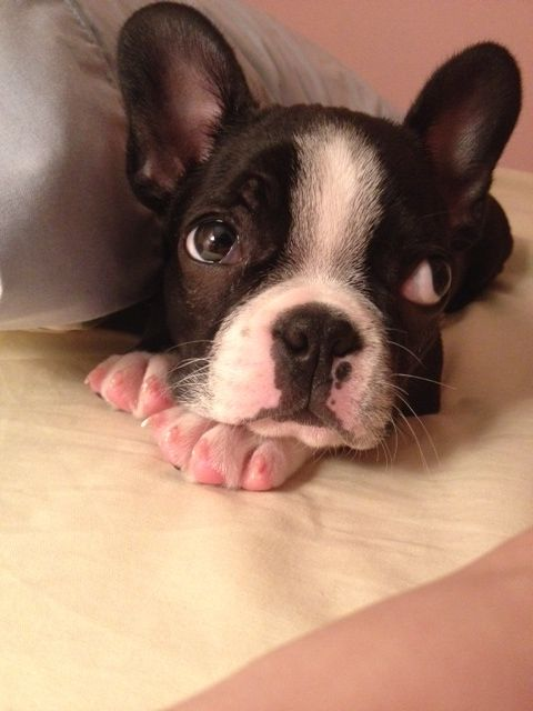 Adorable Boston Terrier named Moses at Puppy's Age Surprized in the Bed! ► http://www.bterrier.com/?p=28495 - https://www.facebook.com/bterrierdogs