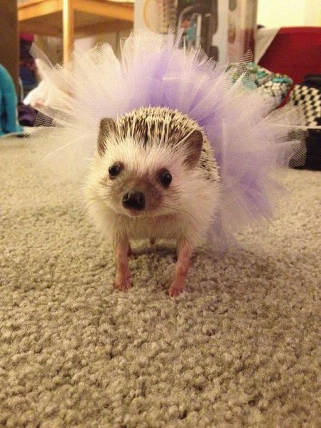 I think this is a hedgehog in a tutu?????