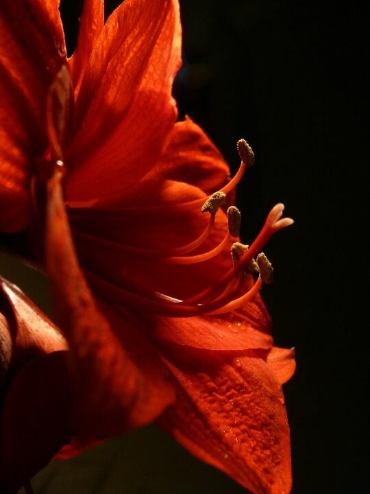 My pride: Close up Amaryllis