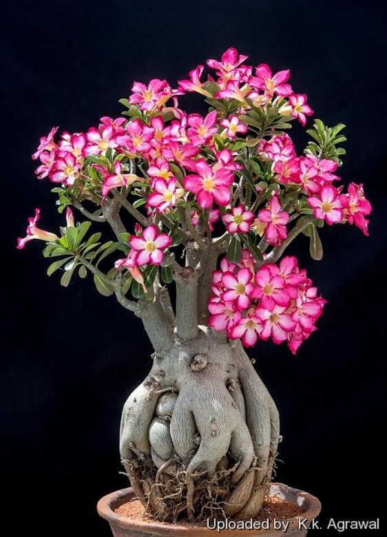 Image from http://www.llifle.com/photos/Adenium_obesum_23518_l.jpg.