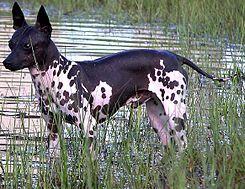 El Terrier americano sin pelo (American Hairless Terrier) es una raza poco común de perro, considerado una variante del terrier ratonero.    El 1 de enero de 2004, el United Kennel Club norteamericano la consideró una raza separada dentro de los terrier. Suele confundirse con un Chihuahua sin pelo.
