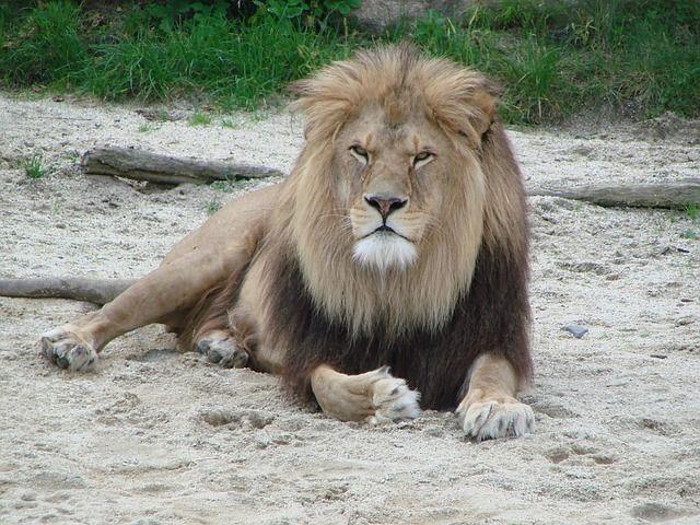 Kostenloses Bild auf Pixabay - Löwe, Wildtier, Raubtier