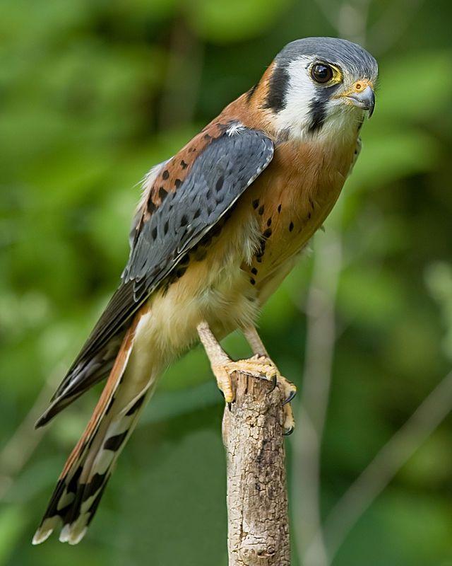 Falco sparverius // Amerikaanse torenvalk/mannetje // - Wikipedia //De levendig gekleurde Amerikaanse torenvalk is een kleine valk die in grote delen van Noord- en Zuid-Amerika voorkomt. Zijn uiterlijk vertoont overeenkomst met de torenvalk, maar deze laatste soort is een stuk groter.