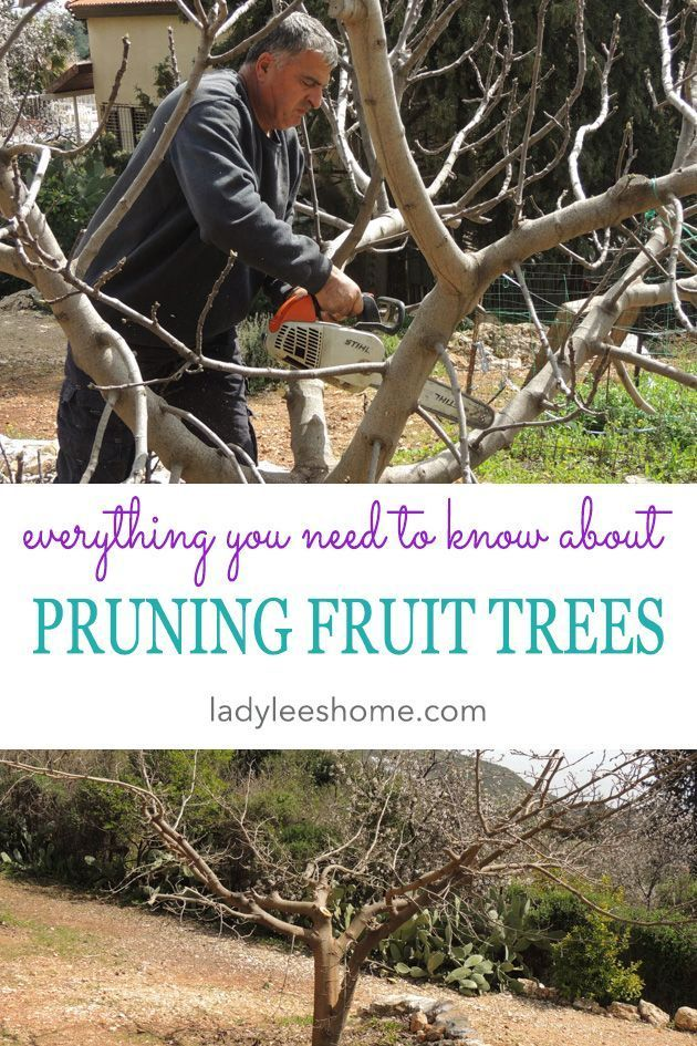 How To Prune Fruit Trees To Keep Them Small Prune Fruit Growing Fruit Trees Pruning Fruit Trees