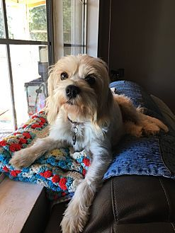 Havanese Mix Dog for adoption in Temecula, California - Mama