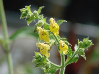 Salvia campanulata