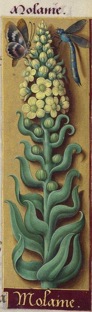 Molaine - Monanie (Verbascum Thapsus L. = molène, bouillon blanc) -- Grandes Heures d'Anne de Bretagne, BNF, Ms Latin 9474, 1503-1508, f°234r