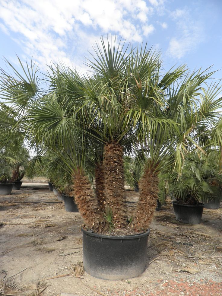 California Palm Trees - California Southern California Palm Trees Drought Tolerant Cali Palms RealPalmTrees.com Buy California Palm Trees #CaliforniaPalms #CaliforniaPalmTrees #BuyCALIPalms  European Fan palm