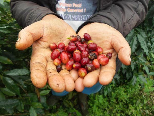 Mereka di Sebrang Danau, udah petik merah kopinya.  #MinangCoffee