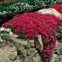 (When I was growing up, one of our neighbors had phlox on the road bank in front of their house. It was gorgeous!) phlox subulata scarlet flame/ATTRACTS: HUMMINGBIRDS!!! Their favorite phlox. Great in rock borders or used as a groundcover for erosion control. Plant with Red Oak Tree which attracts Monarch Butterflies.