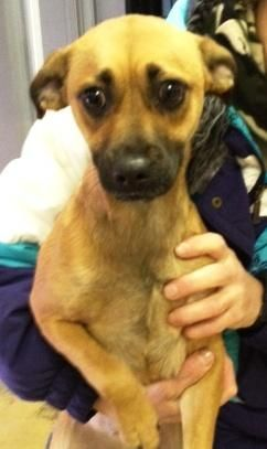 ADOPTED !! #NewYork ~ Molly is a Pug / Beagle mix #puppy about 8mos, she arrived as a stray & is very energetic & VERY sweet! Come in to meet her ! SPCA of WESTCHESTER  590 N State Rd  #BriarcliffManor NY 10510  Ph 914-941-2894
