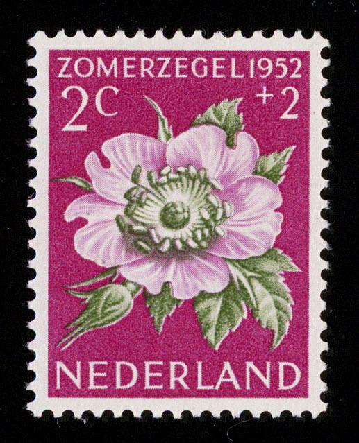 Postzegel Nederland, Zomerpostzegel 1952, Duinroos.