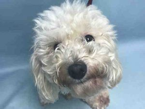 SNOW – A1126842  FEMALE, WHITE, POODLE MIN / MALTESE, 6 yrs OWNER SUR – EVALUATE, NO HOLD Reason COST Intake condition UNSPECIFIE Intake Date 09/28/2017, From NY 11434, DueOut Date 09/28/2017,