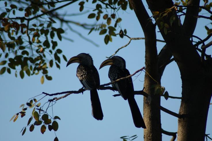 Yellow billed hornbill.Yellow Bill, Bill Hornbill