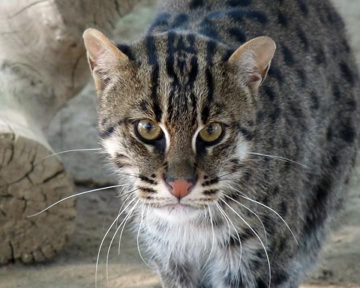 17 best images about efbc fcc on pinterest pallas 39 s cat for The fishing cat