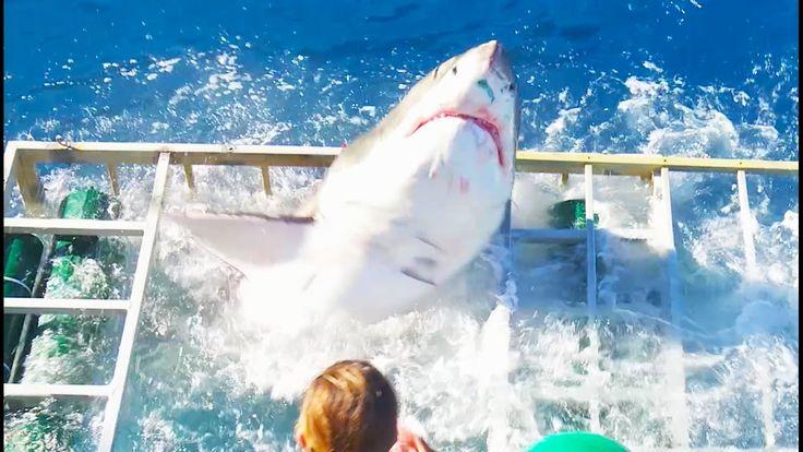VIDÉO: Un concours de circonstances rarissime a permis à un grand requin blanc d'entrer à l'intérieur d'une cage d'observation, en compagnie d'un caméraman.