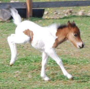 Spirit Thunder Miniature Horses: Thunder Miniature, Mini Horses Not, Horses Not Ponies, Miniature Horses, Spirit Thunder, Minnie Horses, Gorgeous Horses, Equine Miniatures, Miniature Food